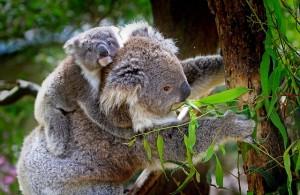Gi tips i Australia